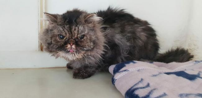 The abandoned Persian tabby cat
