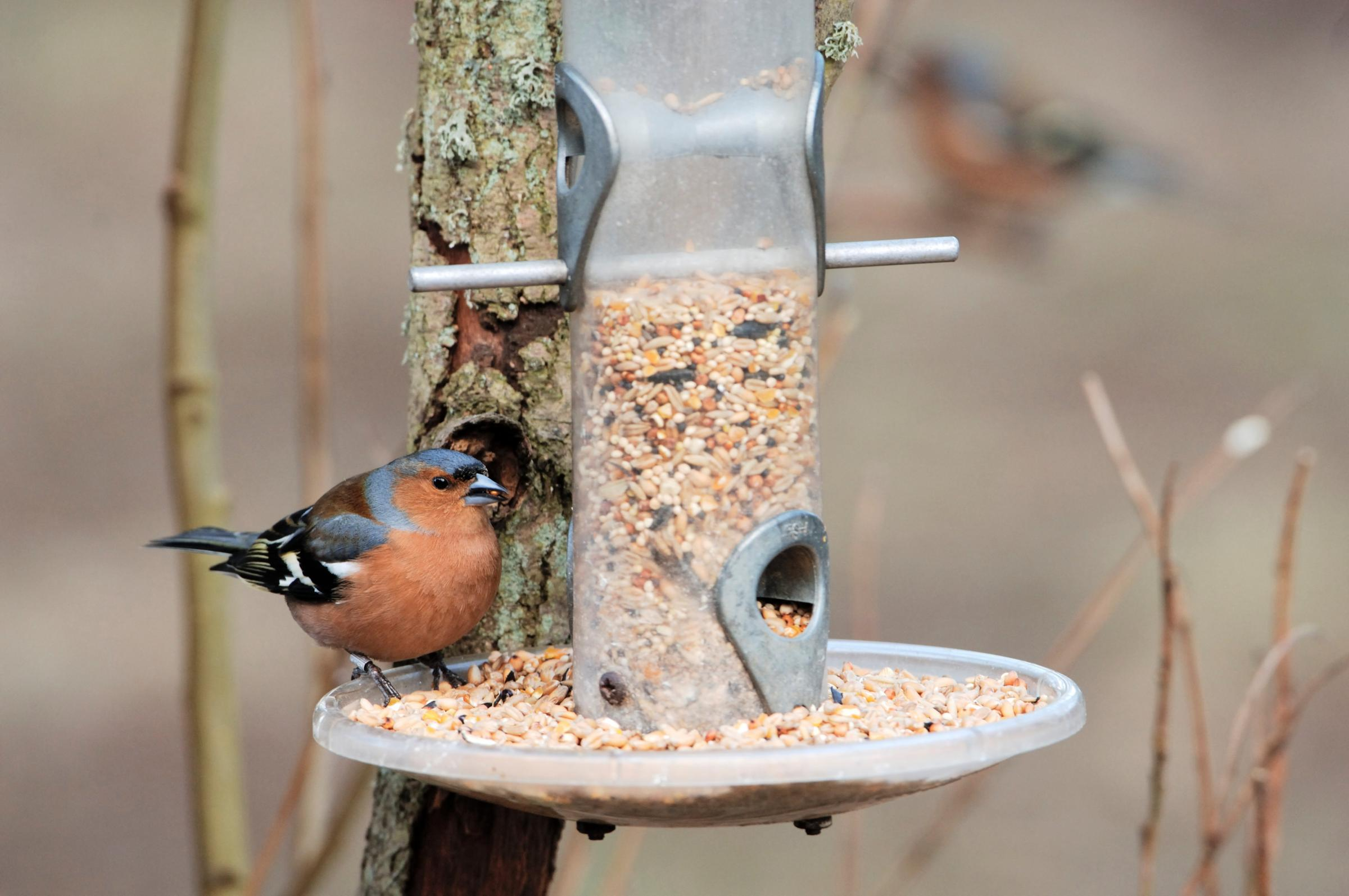 A male Chaffinch enjoys eating at a bird feeder.