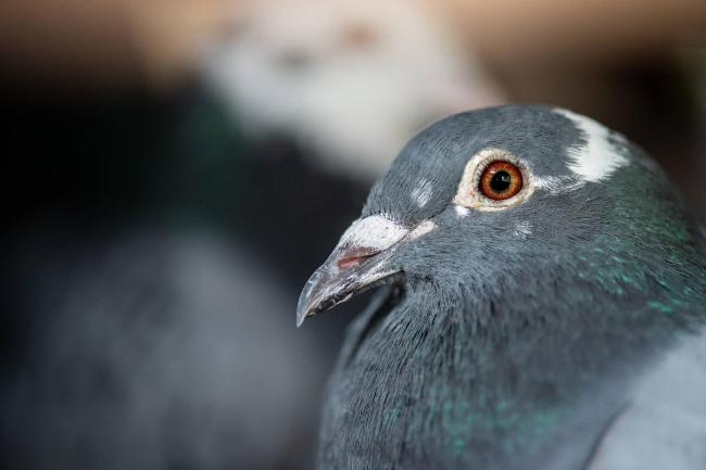 Racing pigeons have been released or stolen in three separate incidents across Dumbarton and the Vale in recent weeks